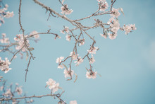 Almond Blossoming Branch, Blue Sky. Welcome Spring, Retro Tone.