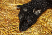New Born Black Lamb