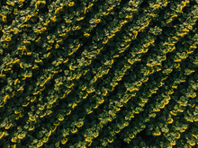 Aerial View Of Field Of Bloomi...