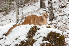 Mountain Lion Crouched Down At...
