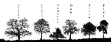 Realistic Set Of Trees Silhouette Pine, Birch, Oak, Tamarix, Acacia, Linden (Vector Illustration).