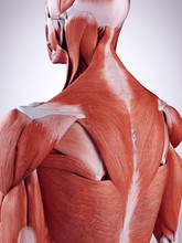 Illustration Of The Upper Back Muscles