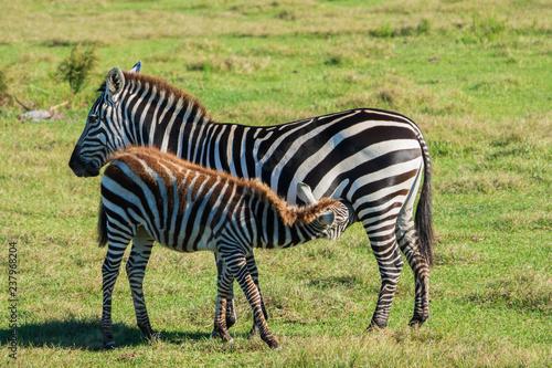Photo  Zebra Foal