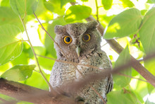 Pacific Screech Owl (Megascops Cooperi) Perched, Resting In A Tree During Daytime.  Member Of Strigidae Family.  Strictly A Nocturnal Hunter Is Dormant During Daytime.