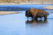 Bison Crossing River In Lamar ...