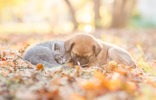 Baby Kitten And Mixed Breed Puppy Sleep Together On Autumn Leaves At Sunset