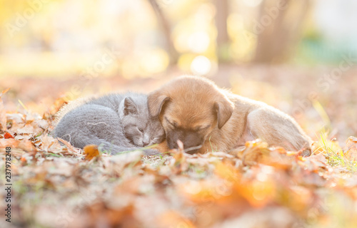 Fototapeta Baby kitten and mixed breed puppy sleep together on autumn leaves at sunset obraz na płótnie