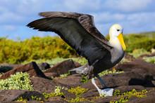 Waved Albatross Spreading Its Wings, Espanola Island, Galapagos National Park, Ecuador