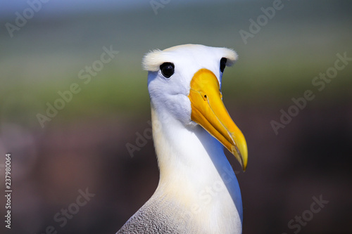 Portrait of Waved albatross on Espanola Island, Galapagos National park, Ecuador Fototapet