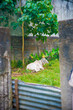 Cow in Manila, Philippines. Philippines is a country located in the south east Asia. Their climate is mostly tropical.