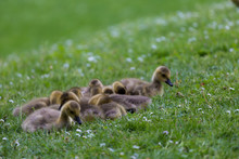 Young Canadian Geese On The Grass