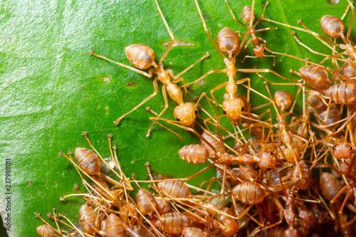 Fotografie, Tablou Macro ant colony in nature.