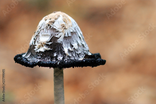 Vászonkép Close up picture of a halg finished Schopftintling Coprinus Comatus Shaggy Ink C