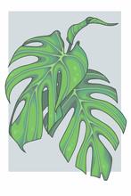 Bright Green Graphic Illustration Of A Monstera Deliciosa Ceriman Swiss Cheese Windowleaf Plant
