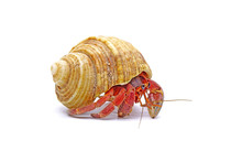 Hermit Crabs Isolated On White...