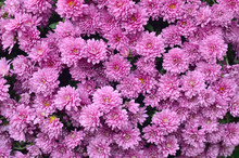 Gardening And Floriculture Concept. Magenta Purple Chrysanthemum Flowers