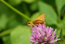 Delaware Skipper On Red Clover Flower