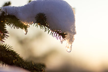 Pine Tree Branch Covered With Snow, Flairs And Sun Beams Behind
