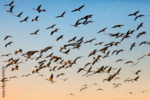 Fotografía  flock of cranes in flight on the background  the sky at sunset, the migration of
