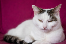 Grumpy Fluffy White Cat With Attitude Not Looking Happy That There Photo Is Being Taken
