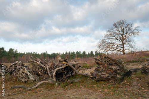 In de dag Afrika Row with large uprooted tree stumps in the foreground of a natural area