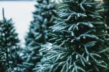 Sale Of Christmas Trees. Fest...