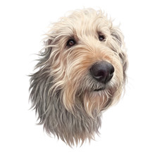 Petit Basset Griffon Vendeen Dog Isolated On White Background. Cute Head Of A Domestic Dog For Print On Pillow, T-shirt, Card. Hand Drawing In Realistic Style. Animal Collection: Dogs. Design Template