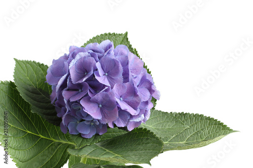 Lilac hydrangea flower isolated on white background Wallpaper Mural