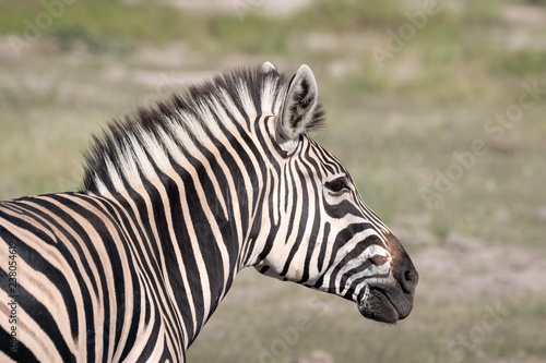 Poster Zebra Close up of a young zebra standing on the grassland of the Okavango Delta in Botswana