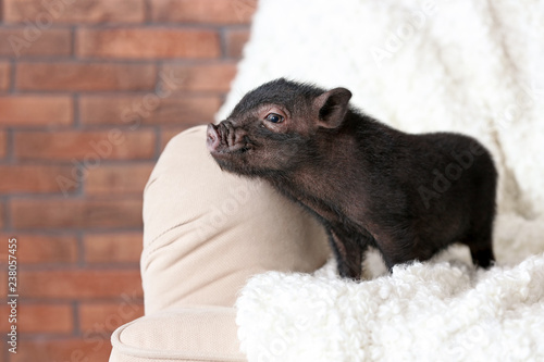 Adorable black mini pig on sofa at home