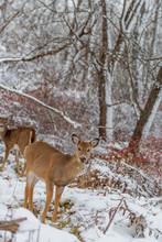 Deer Eating Frozen Grass