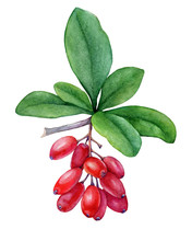 Fresh Red Berries And Purple Leaves Of  Barberry Plant. Watercolor Hand Drawn Painting Illustration Isolated On A White Background.