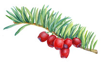 Green Branche With Red Berries Of Taxus Baccata (also Known As European Or English Yew). Watercolor Hand Drawn Painting Illustration Isolated On A White Background