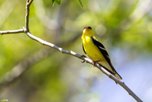 American Goldfinch - Spinus Tr...