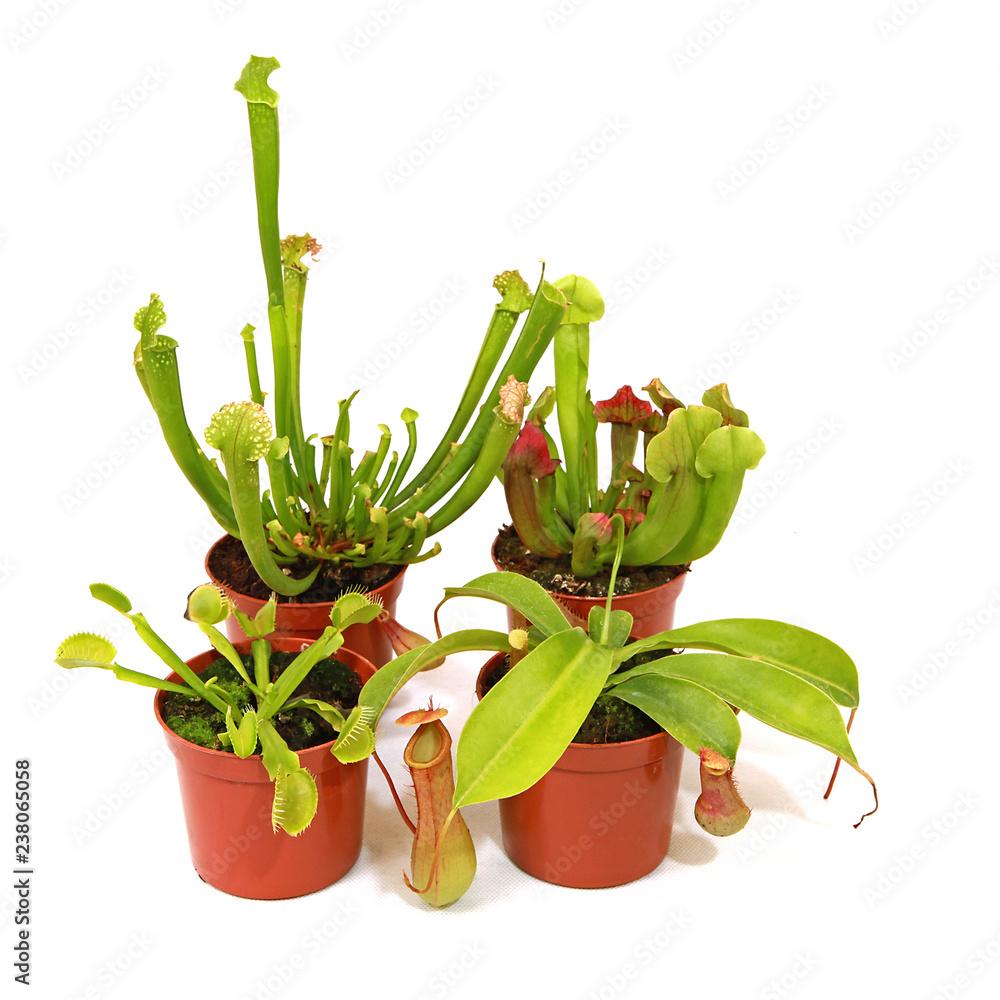 Fototapeta Plantes carnivores