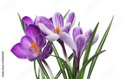 Photo sur Toile Crocus Crocus violets