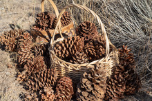 Gathering Pine Cones To Fill Baskets Decorative Items Crafting