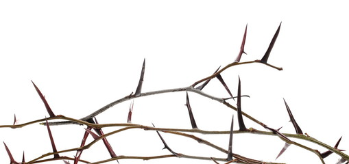 thorny acacia twig isolated on white background