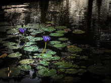 Small Pond With Water Lilies And Purple Water Flowers At Sunset.