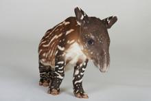 Curious Little Tapir