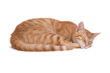 Sleeping Red Cat On White Back...