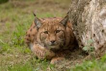 Lynx Sluit Achter Boomstam