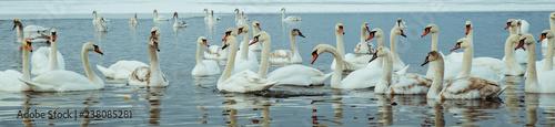 Foto op Canvas Zwaan lot of swans on the lake