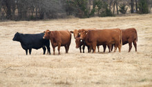 Herd Of Red And Black Angus Cows