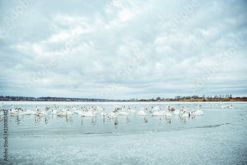 Foto op Aluminium Flamingo lot of swans on the lake in winter day