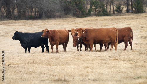 herd of red and black Angus cows Canvas Print