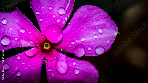 Photo detail closeup of water drops on purple flower