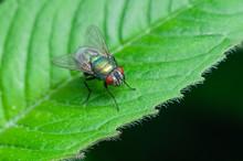 Green Bottle Fly Sitting On A Green Leaf.