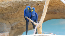 Two Hyacinth Macaws Sitting On Branch