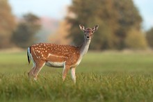 Female Fallow Deer, Dama Dama, In Autumn Colors. Detailed Image Of Wild Animal With Blurred Background. Wildlife Scenery With Cute Mammal Watching.